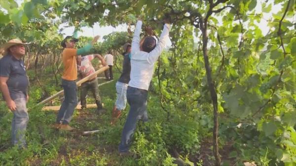 Mutirão ajuda reerguer parreiral de uva derrubado por temporal; prejuízo é de R$ 2 milhões em RO