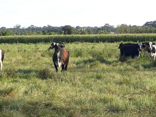 Unir realiza leilão de bovinos com lances a partir de R$ 200 em Rondônia