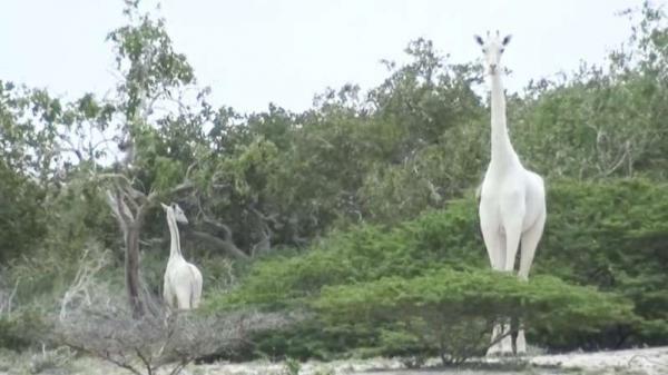 Duas girafas brancas extremamente raras foram mortas por ca�adores no nordeste do Qu�nia, segundo ambientalistas