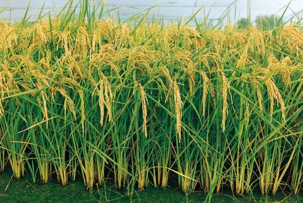 Produção de arroz deverá ser a menor desde 2002, com isso preço pode subir