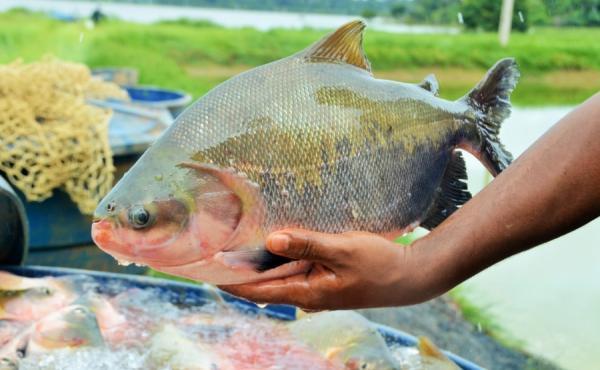 Médios e grandes empreendimentos alavancam a piscicultura em Rondônia